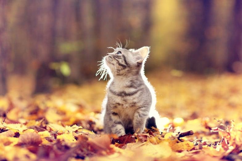 a kitten in fall leaves