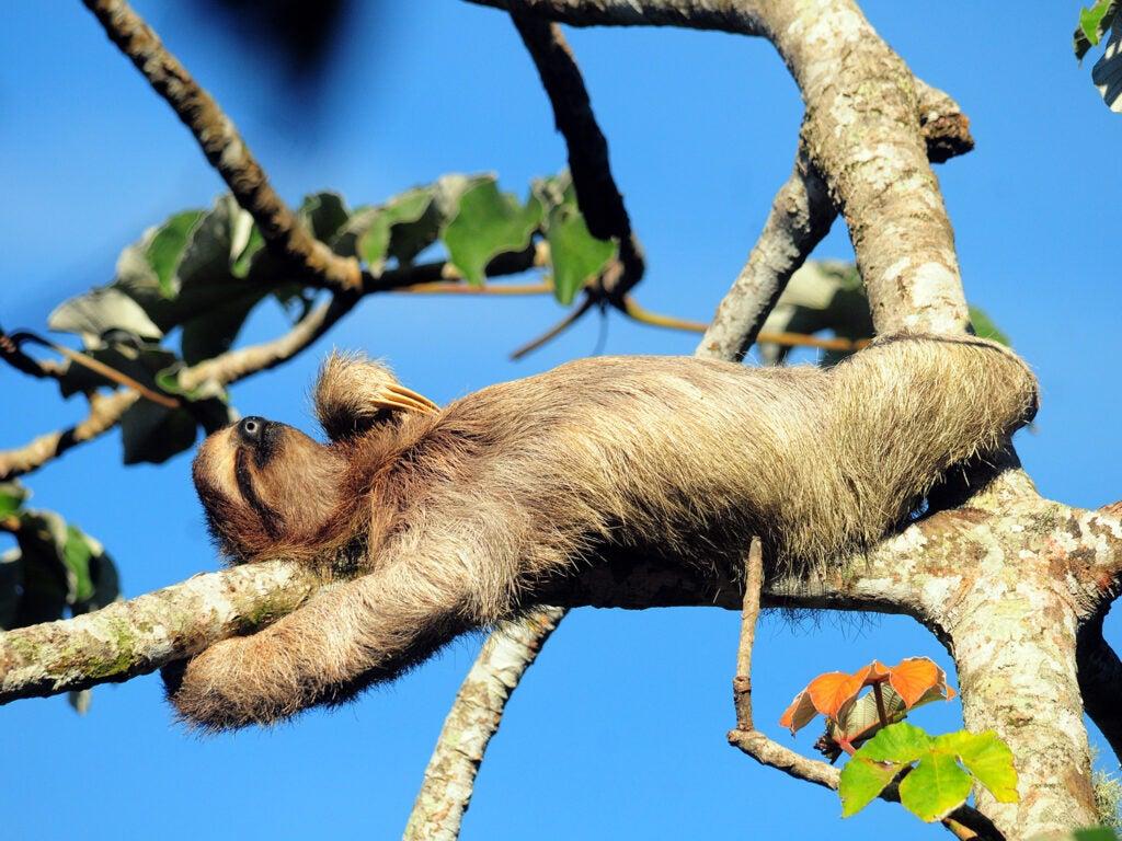 sloth in Cecropia tree