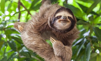 Sloths aren't the picky eaters we thought they were