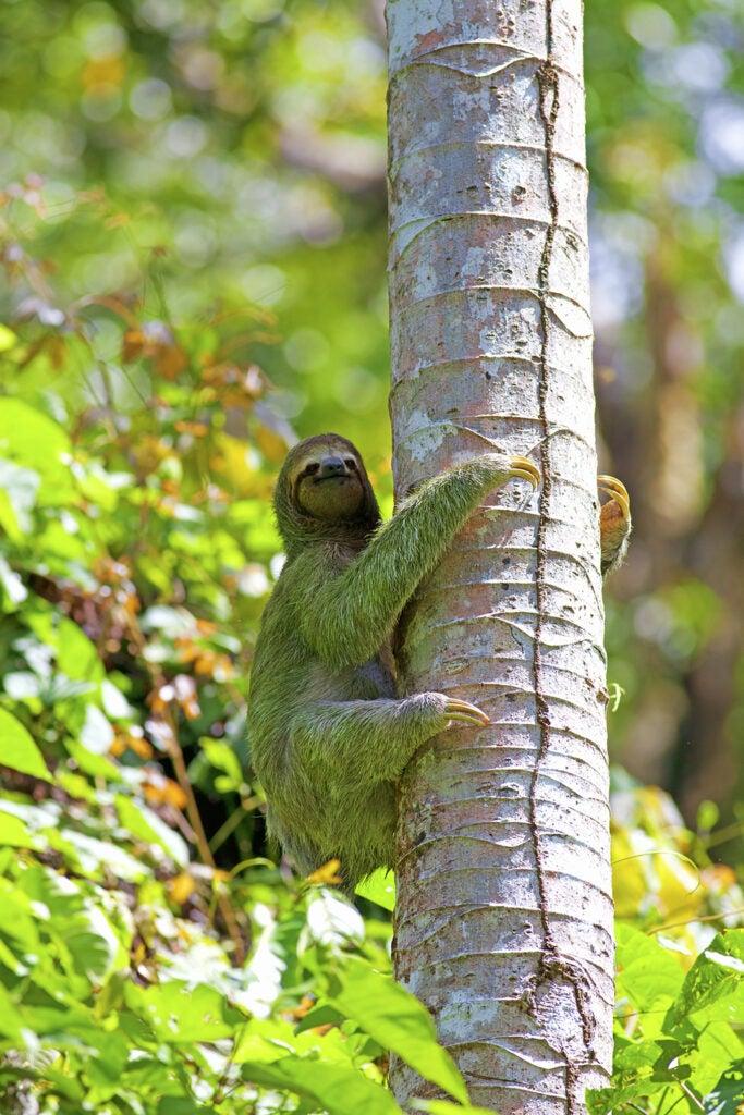 sloth with algae in its fur