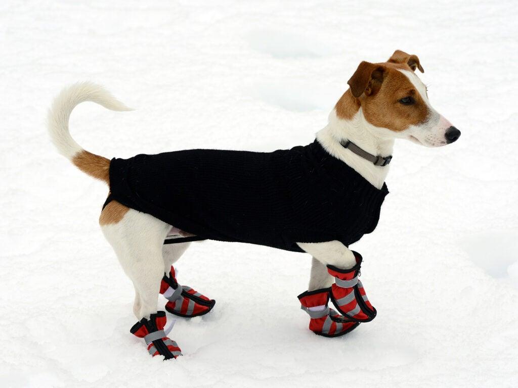 dog in snow gear
