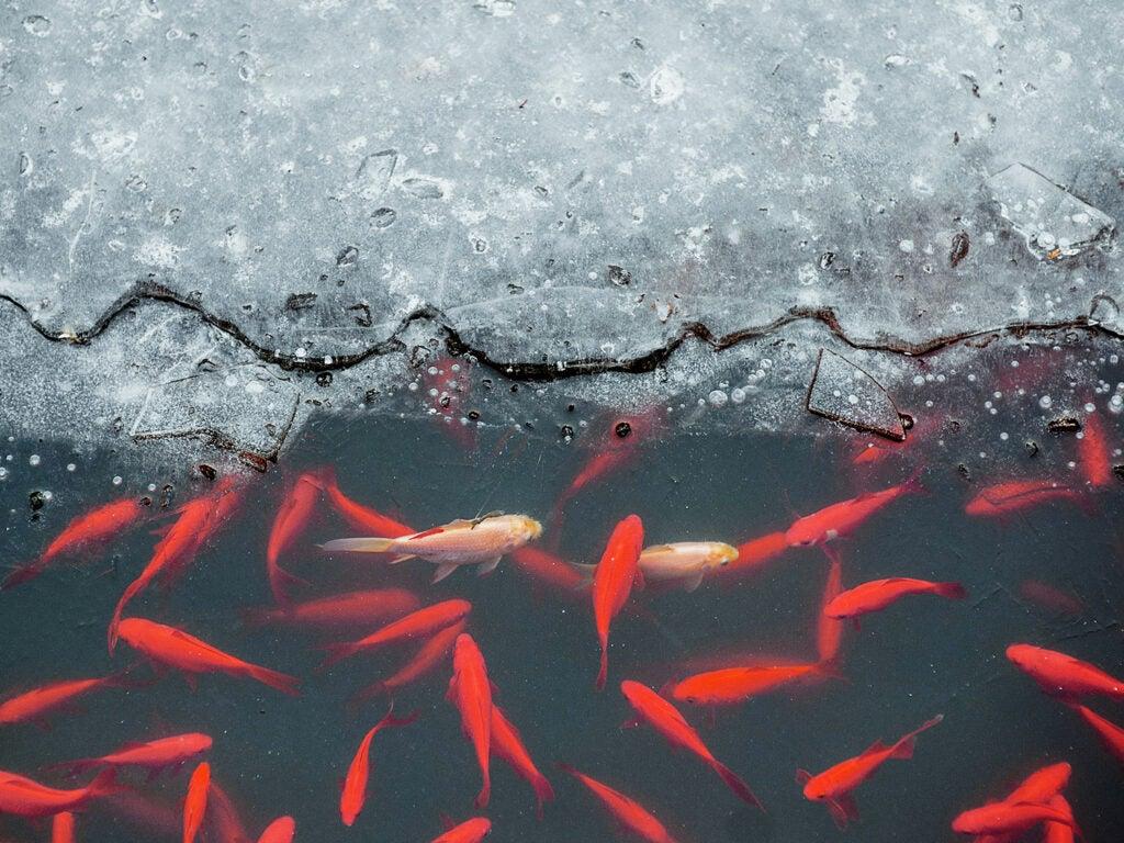 Carp in a partially frozen pond