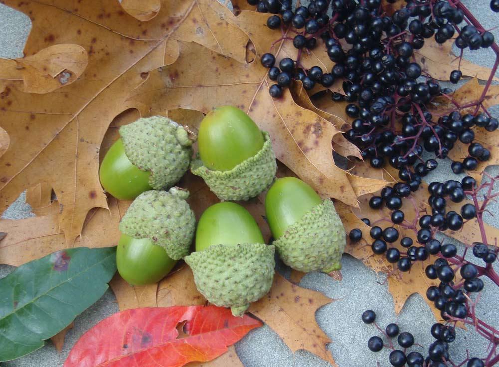 acorns and wild berries