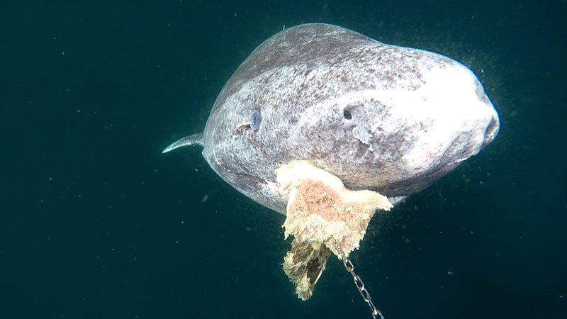 Why scientists are racing to uncover the Greenland shark's secrets