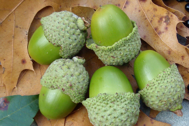 Five ways to eat acorns for survival