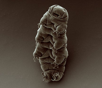 Tardigrades could probably survive the otherwise complete annihilation of life on Earth