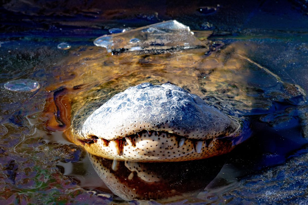 a gator snout sticking out of a frozen body of water
