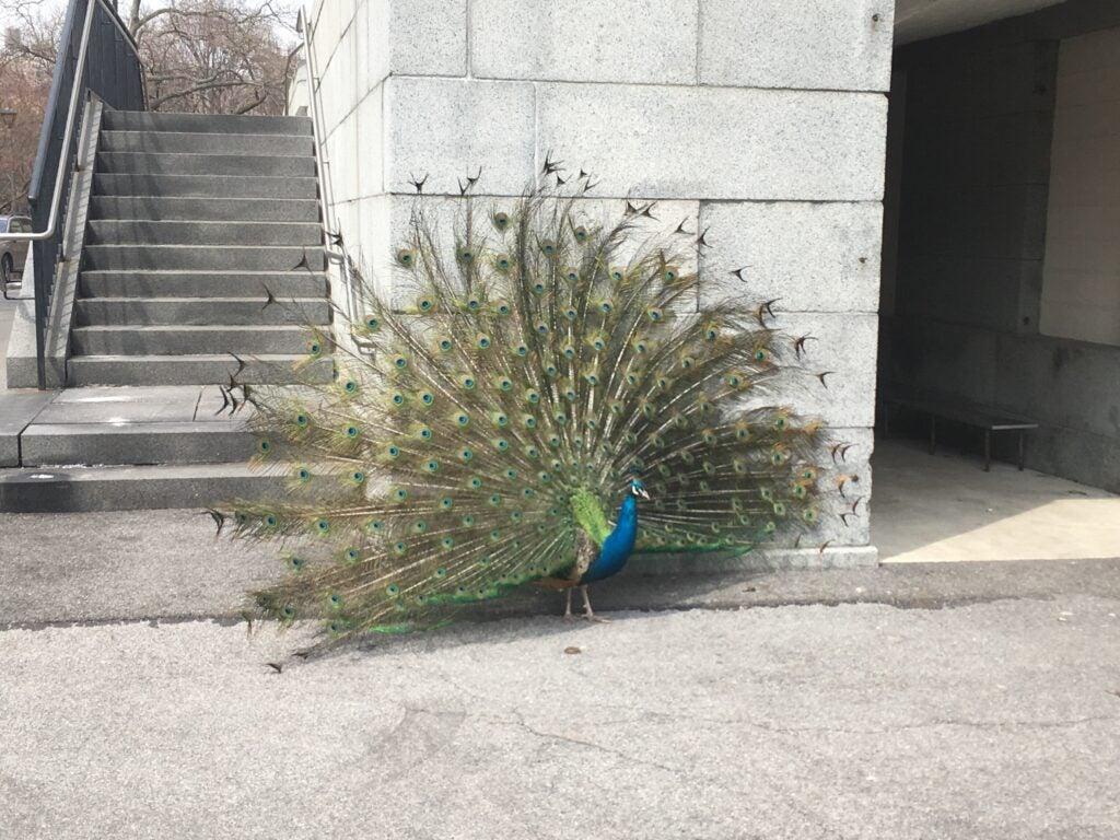 Peacocks in the city