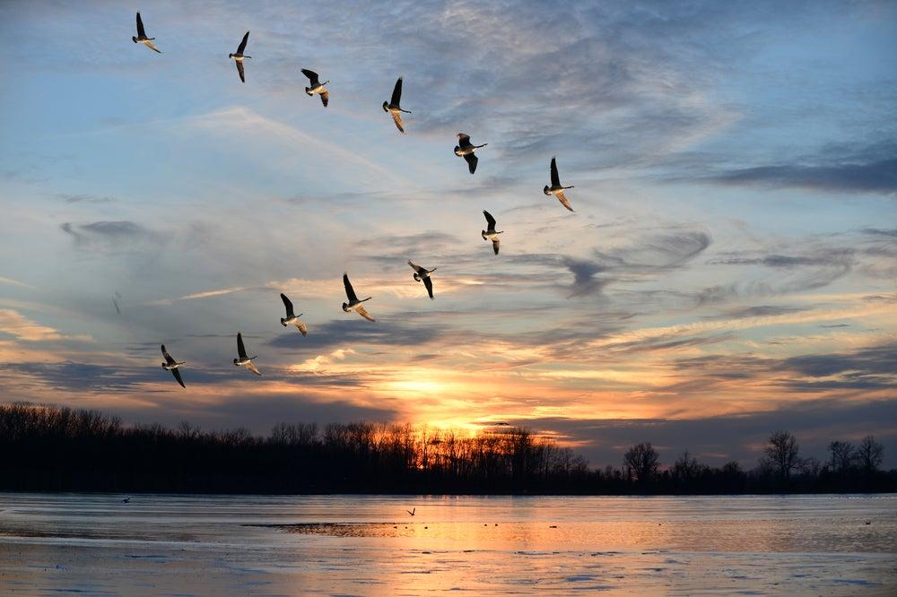 Geese flock flying mechanics