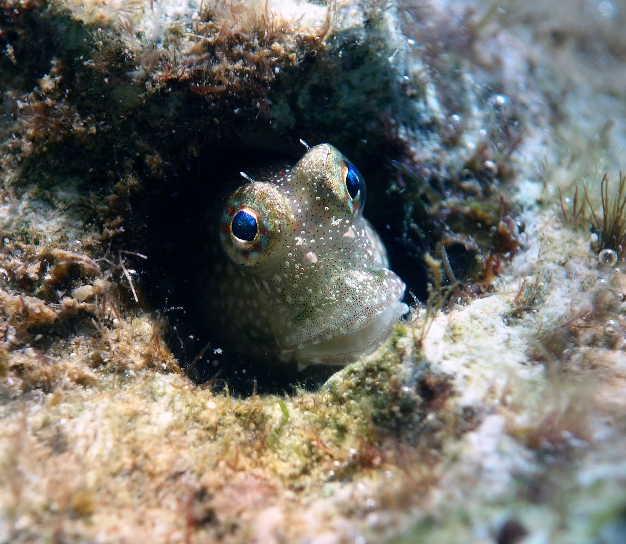 Plagued by predators in the sea, these fish are moving onto land