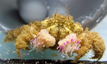 Boxer crabs go to crazy lengths to keep a pair of pom-poms