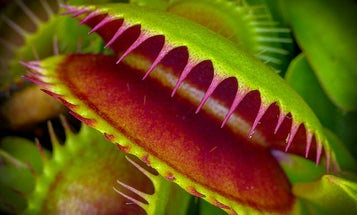 This micro-robot mimics the ingenious grasp of a Venus flytrap