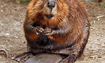 What's the deal with this beaver herding a bunch of cows?