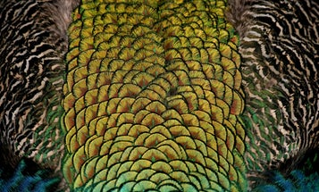 How we finally figured out the color of dinosaur feathers