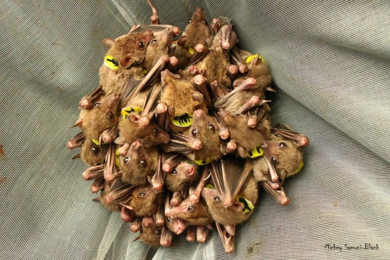 Egyptian Fruit Bats