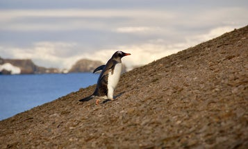 Volcanic ash and ancient poop reveal penguins' tragic history
