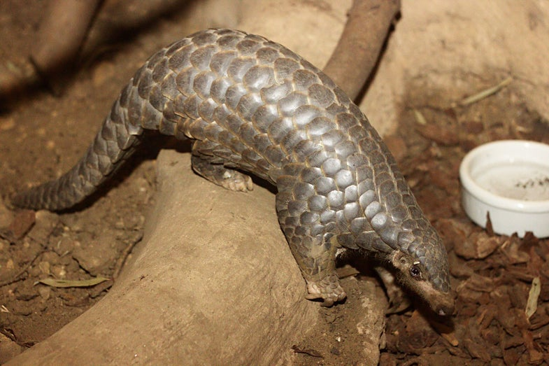 WTF is a pangolin? Fall in love with this sentient artichoke before it goes extinct