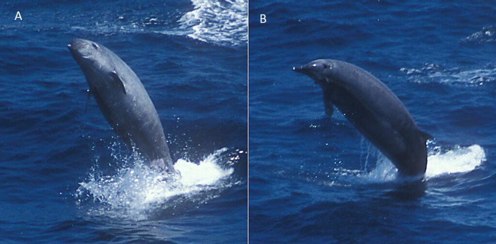 True's beaked whales breaching
