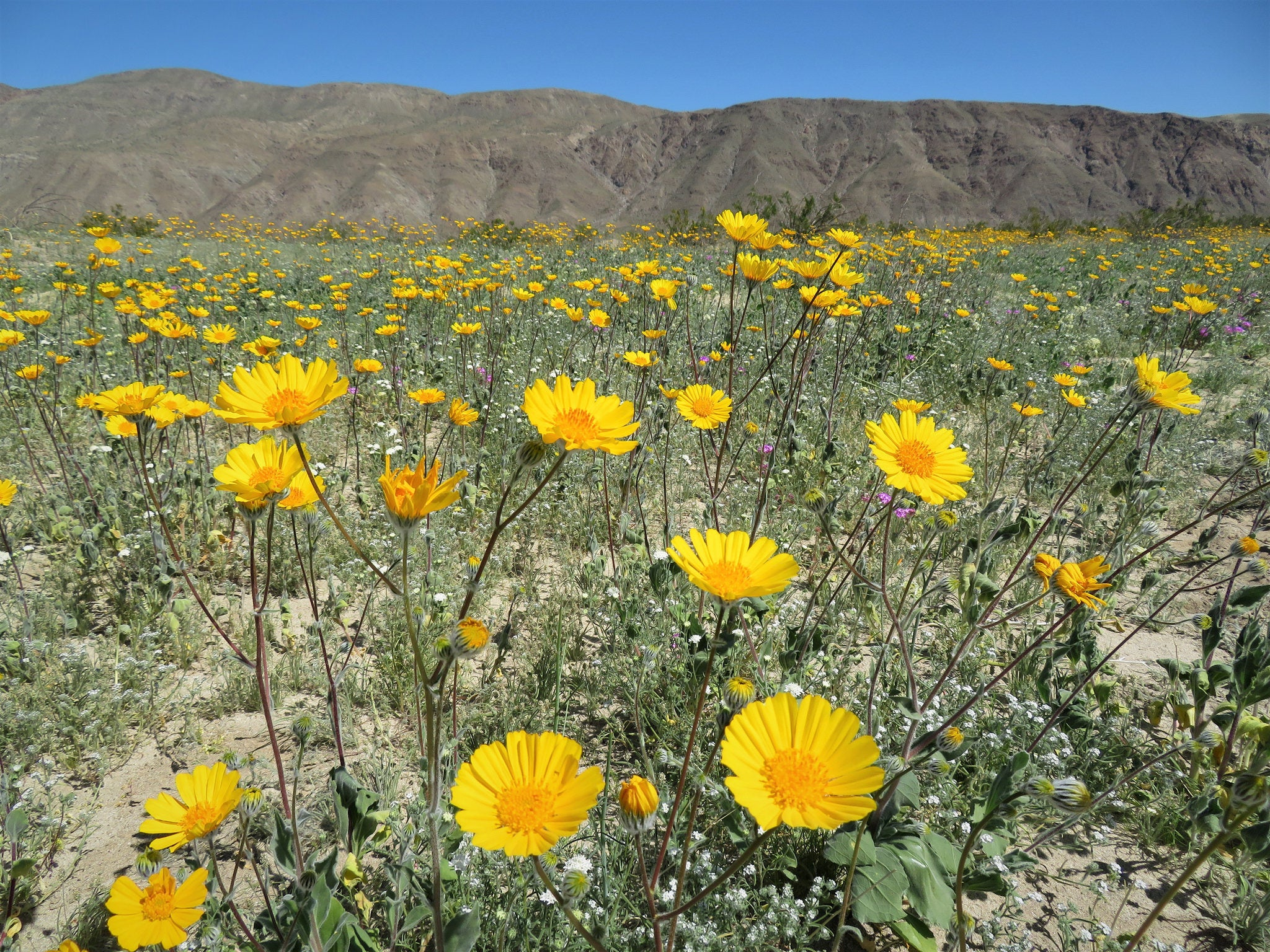Don't go to Death Valley looking for a 'Super Bloom'