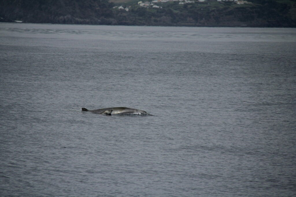 Mother and calf True´s beaked whales