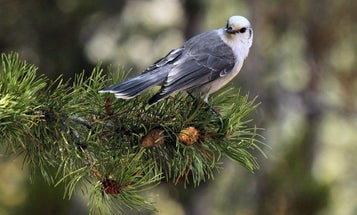 The embattled campaign for Canada's national bird