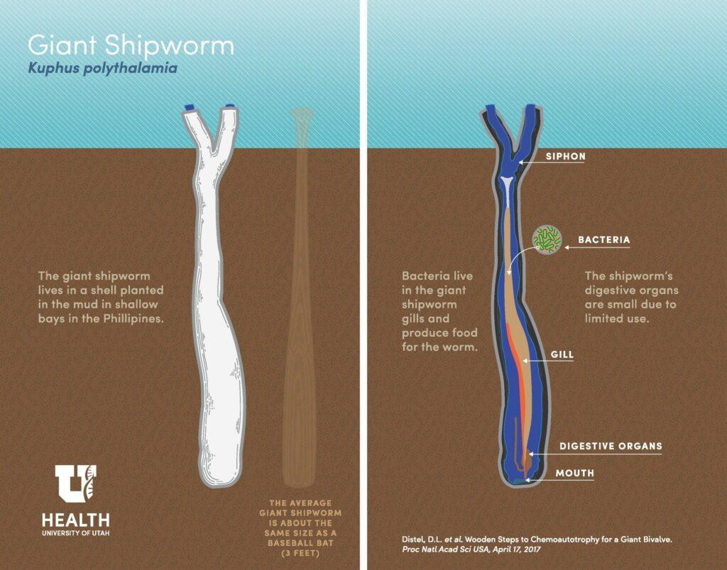 shipworm diagram