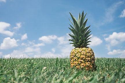 pineapple in a field