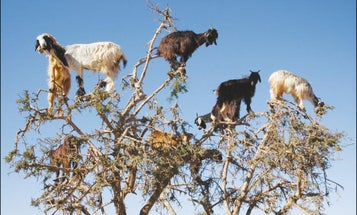 These tree-climbing goats spread seeds by spitting