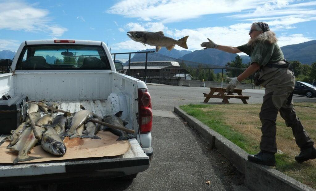 a truck full of dead salmon