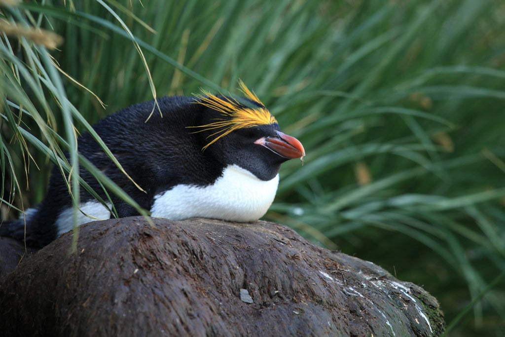 A macaroni penguin takes a little snooze on a rock.