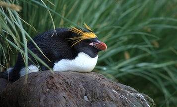 Penguins may have islands to thank for their diverse looks