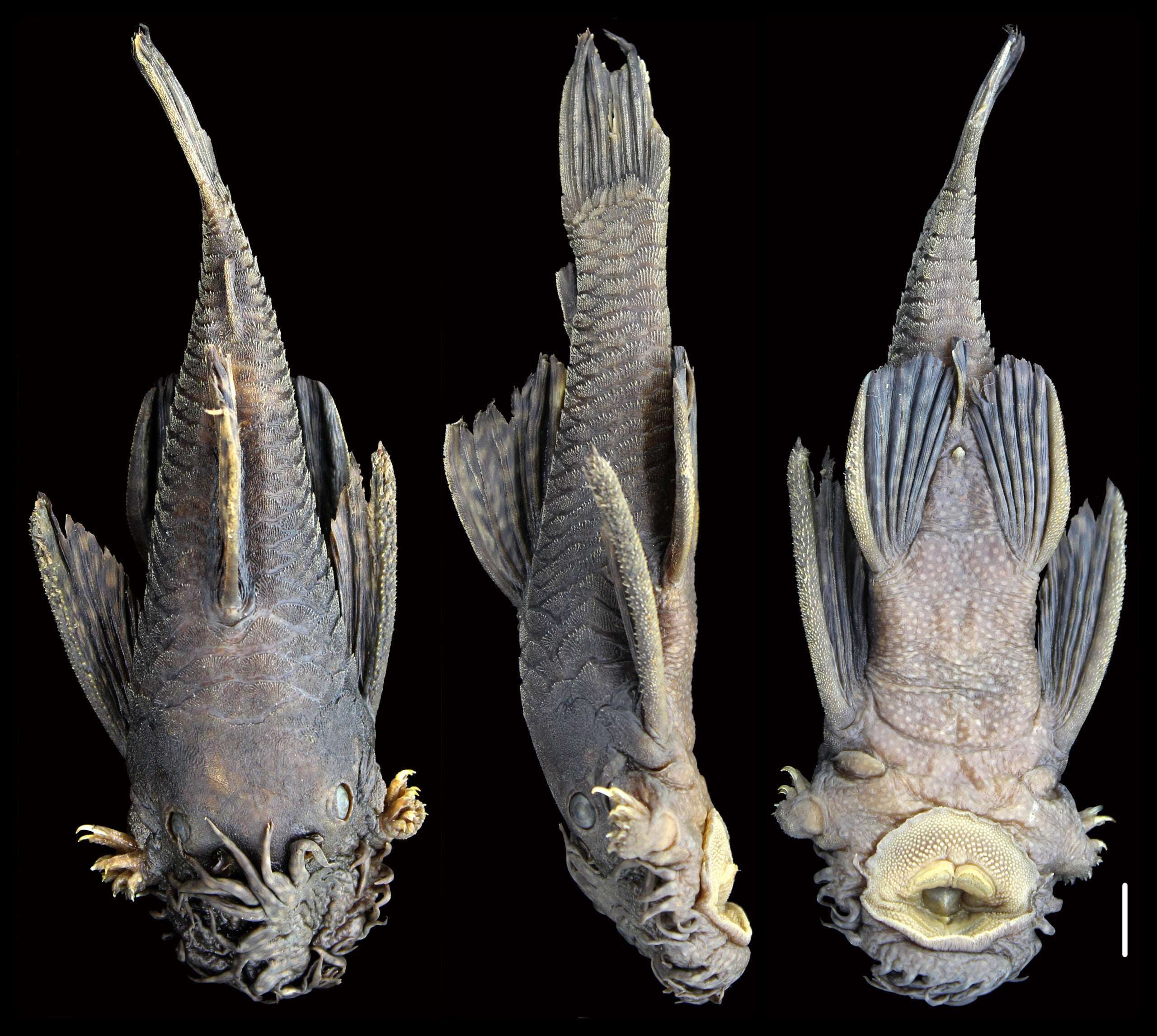 front, side, and from-below view of a tentacle-nosed catfish