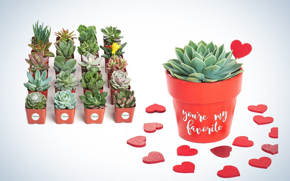 Valentines Day gifts succulents
