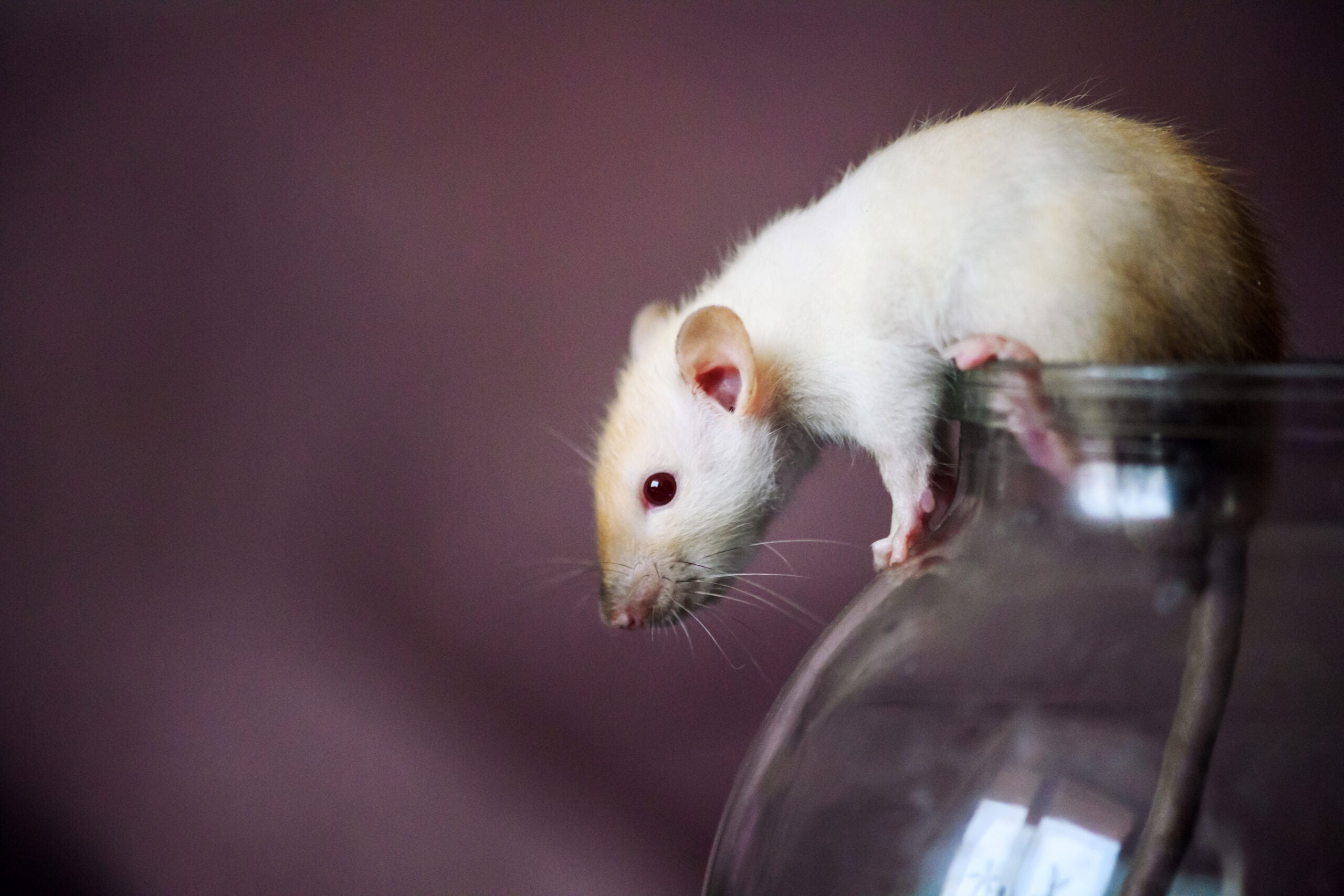 a white rat perched on a glass jar
