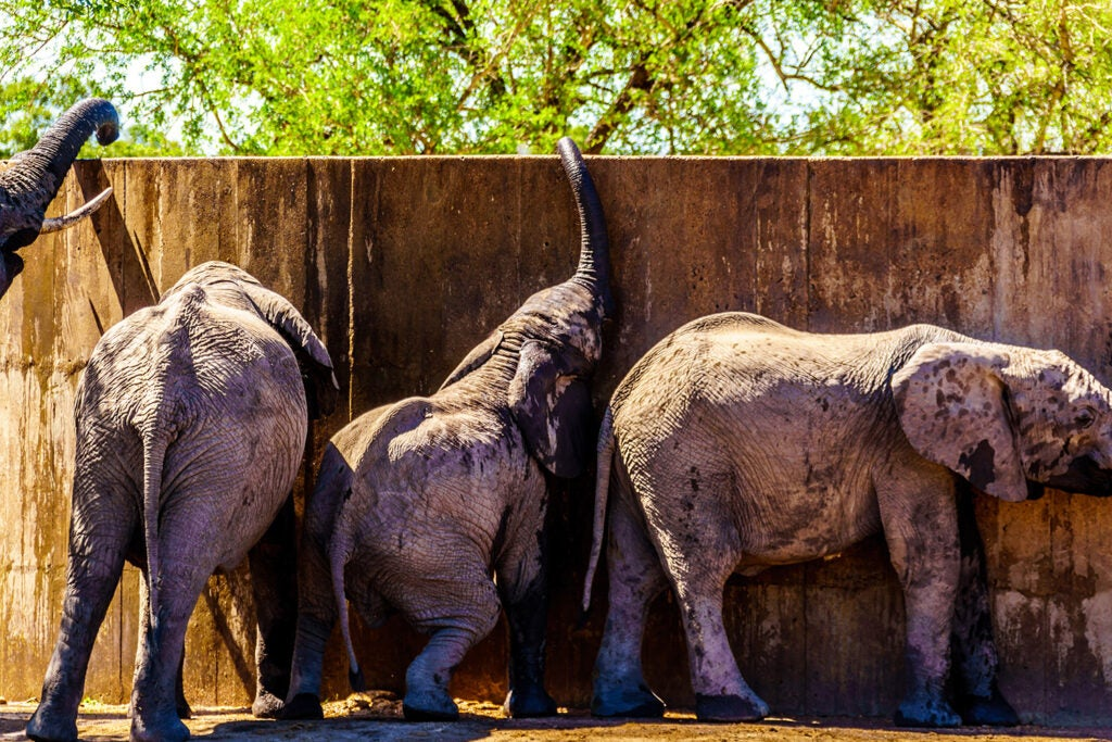 Juvenile elephants try to reach water in a storage tank