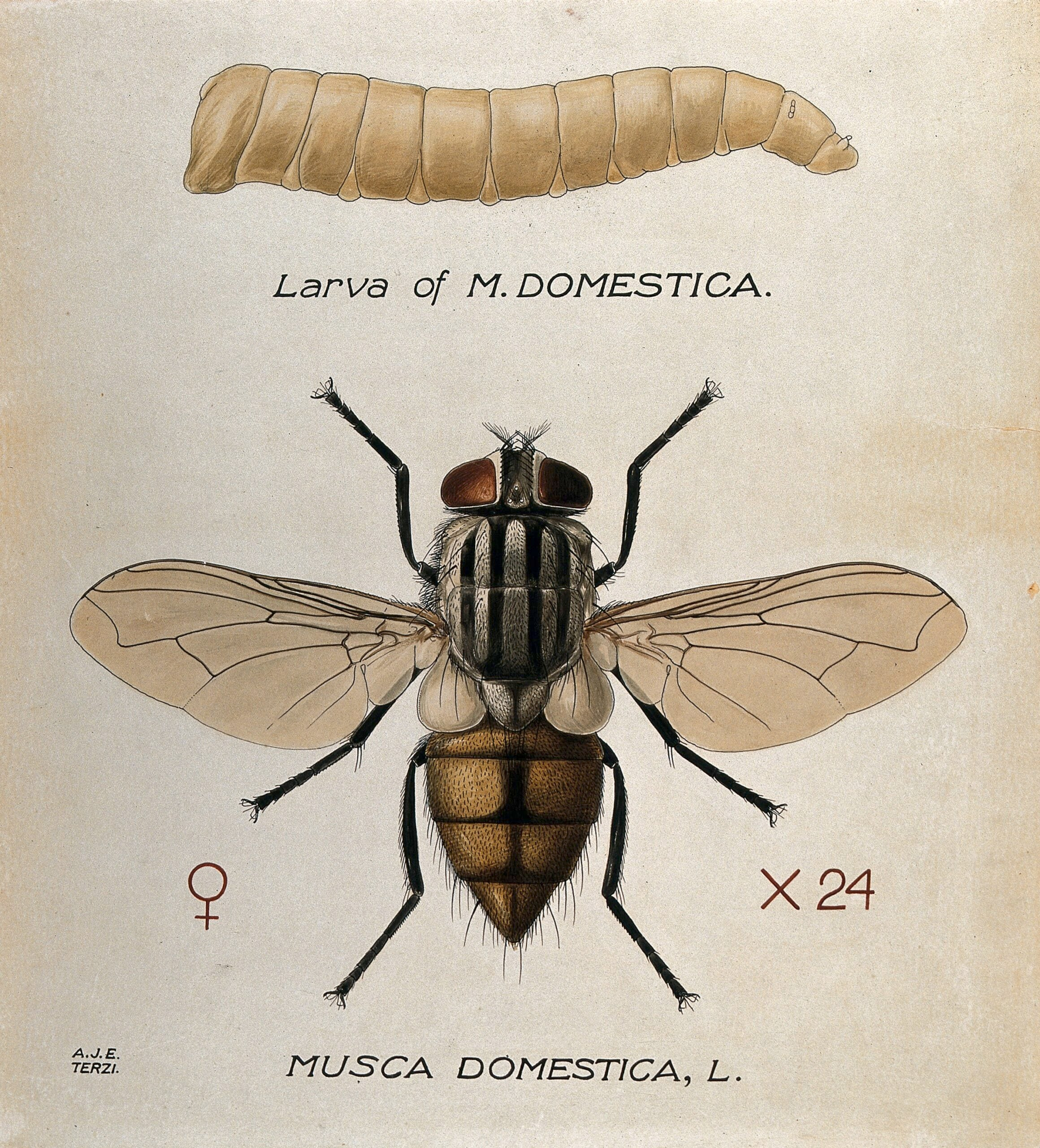 Musca Domestica housefly larva adult