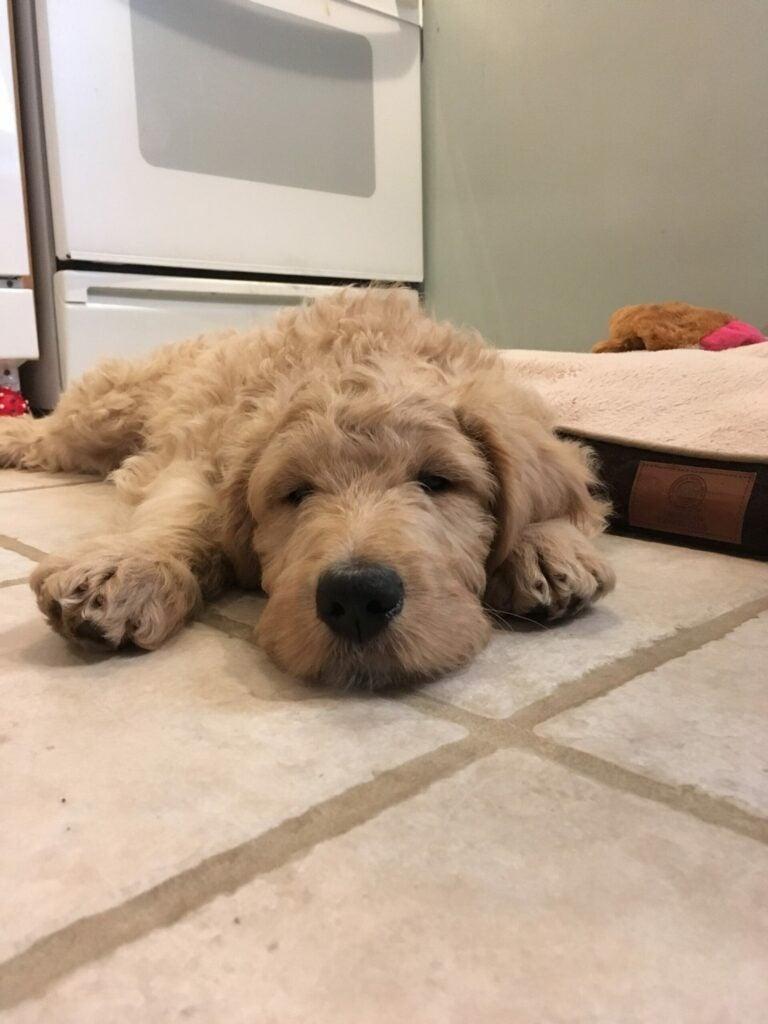 ajax puppy