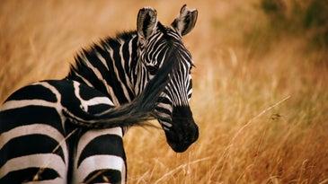 Zebra wild nature safari stripes science