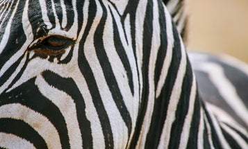 How a zebra's stripes put bloodthirsty flies into a tailspin