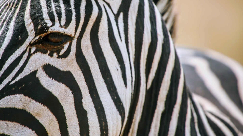 close-up of a zebra
