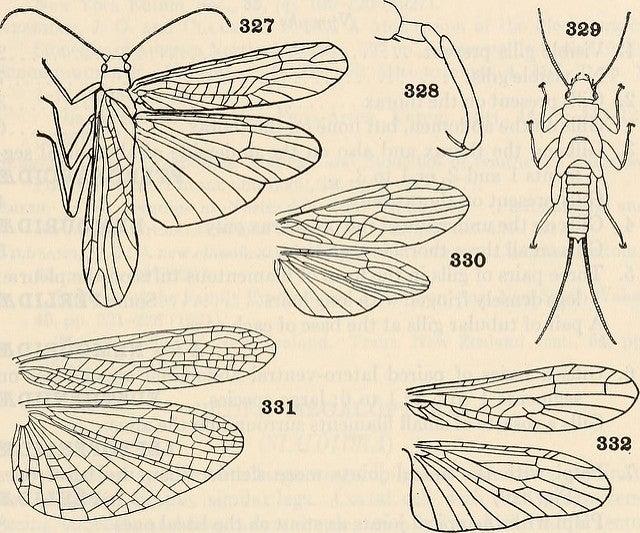 Stonefly White House illustration scientific