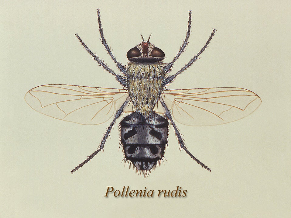 Pollenia rudis fly adult stage illustration