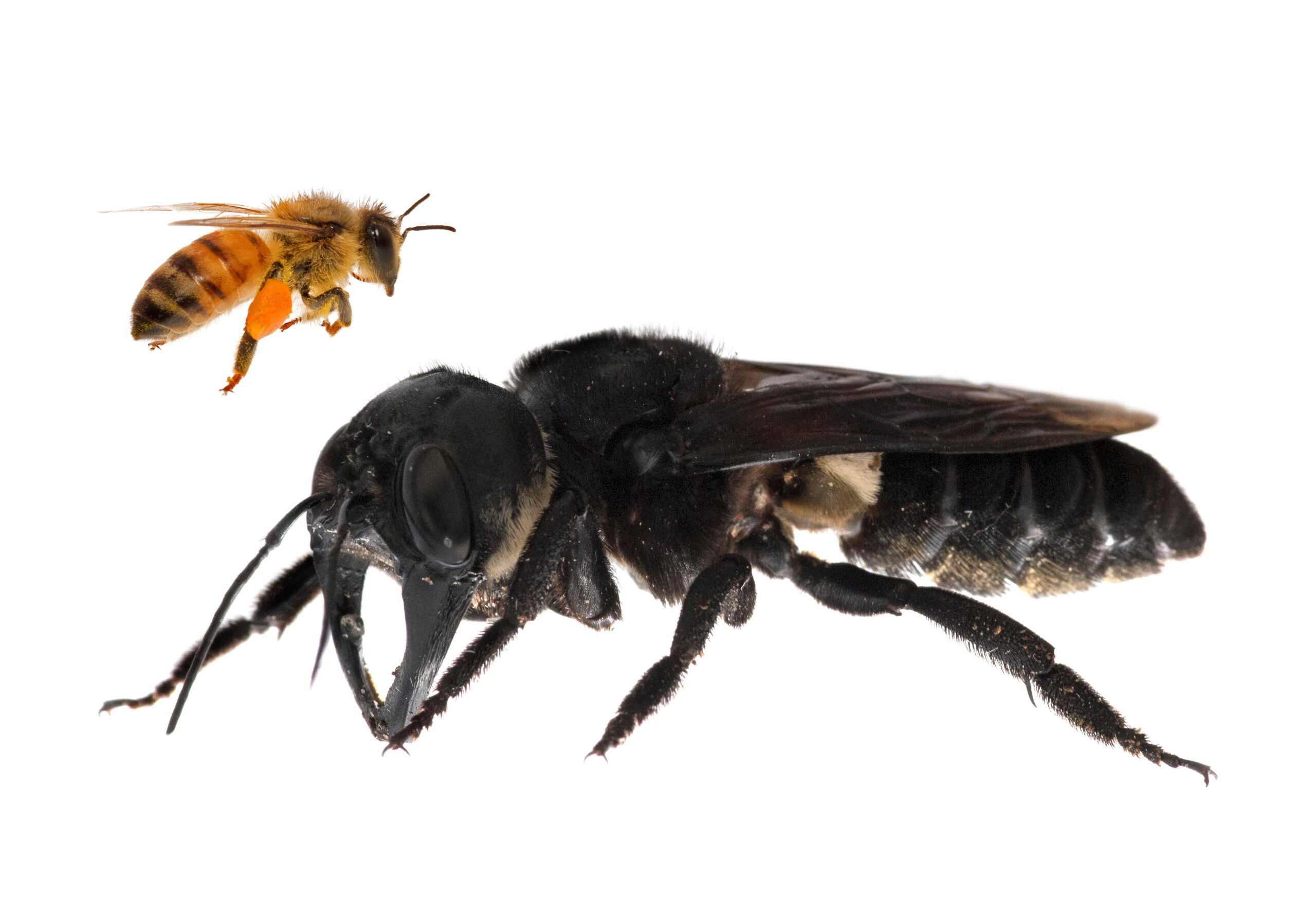 Giant bee Wallace's discovery extinction