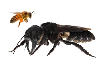 Scientists thought they lost the world's largest bee, but it was hiding in plain sight