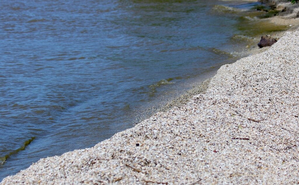 Tiny invasive zebra mussels scattered along the shore of Lake Michigan.