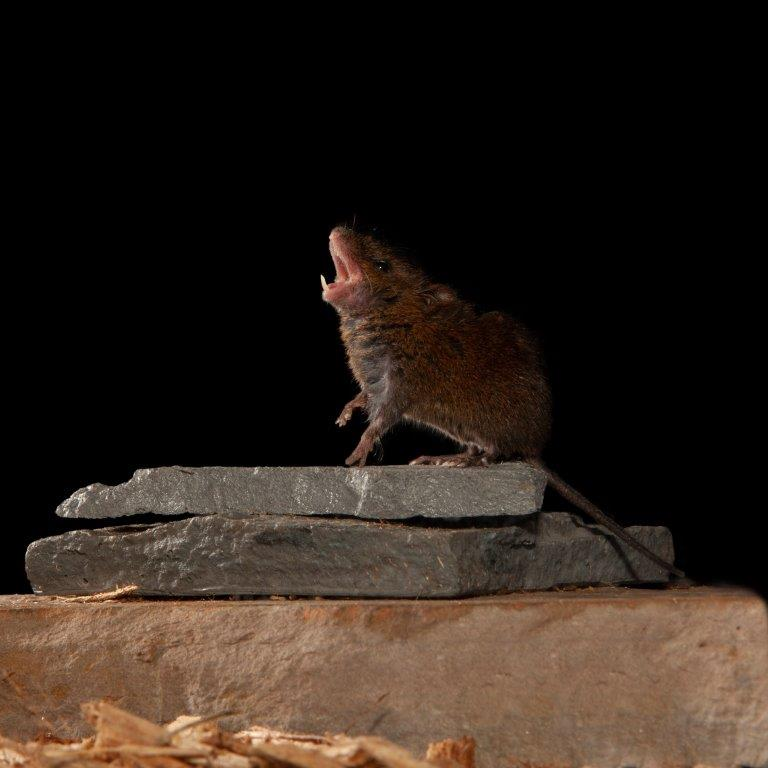Mouse singing on a rock