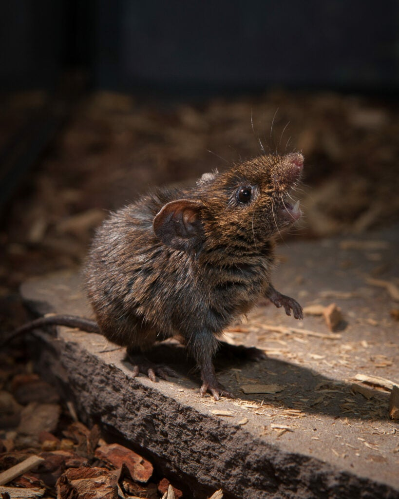 Alston's singing mouse perched on a rock