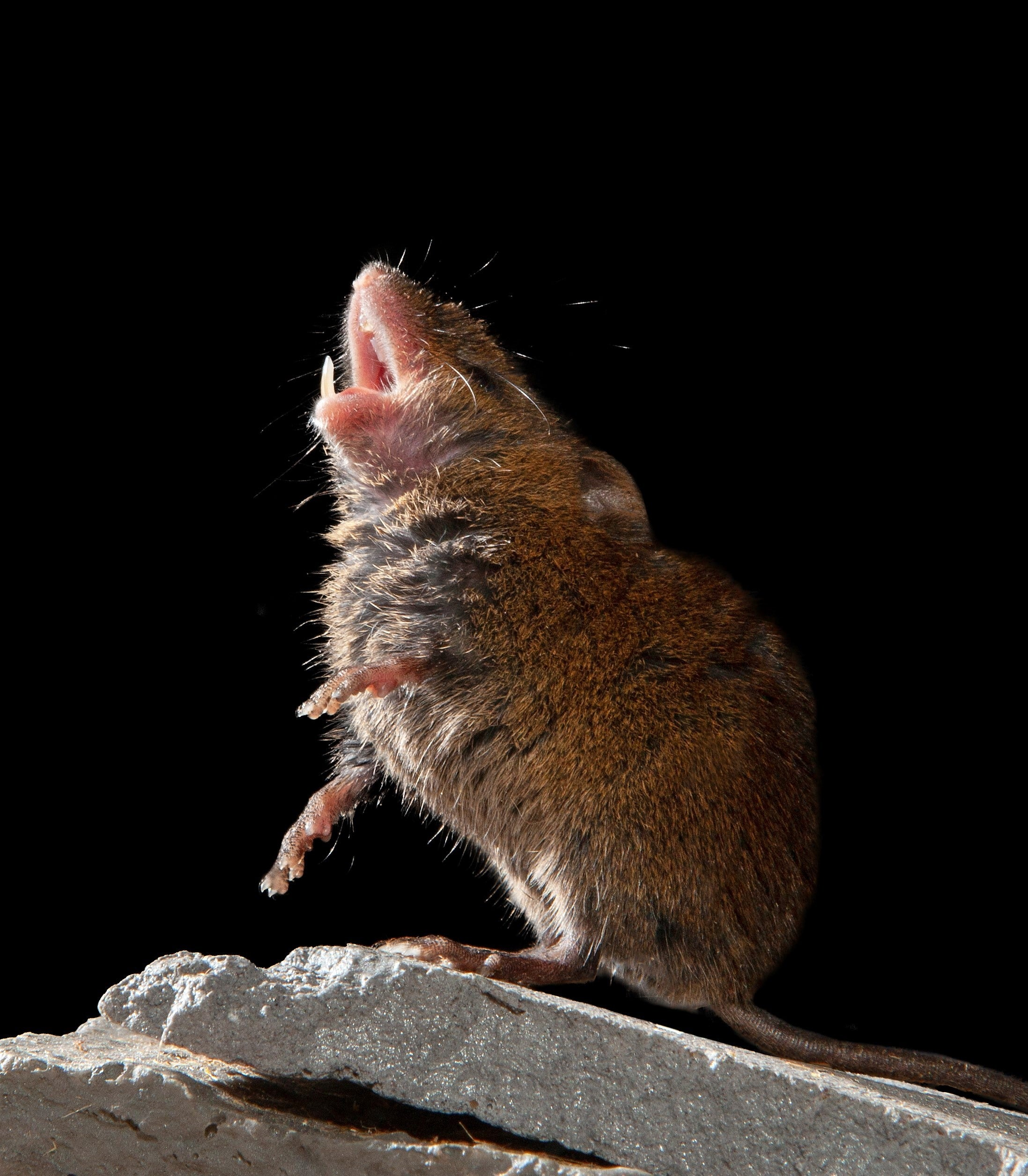 A singing mouse on a rock