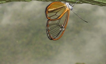 Megapixels: This butterfly's wings are transparently toxic