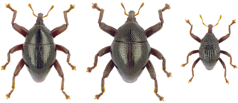 three weevils